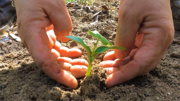Planting Zucchini