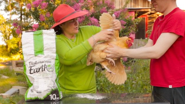 Cure Mites & Ticks On Your Chickens Naturally