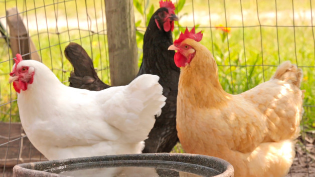 4 Things You Didn't Know About Chickens