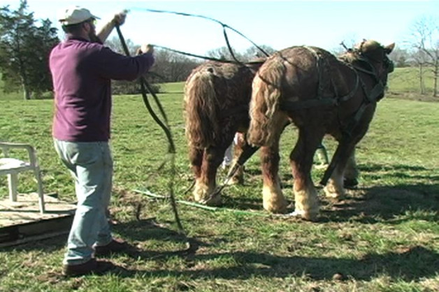 Draft Horses In Harness
