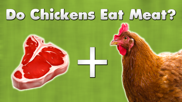 Do chickens eat meat?