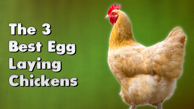 The 3 Best Egg Laying Chickens