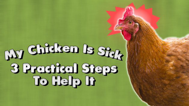 My Chicken Is Sick: 3 Practical Steps To Help It
