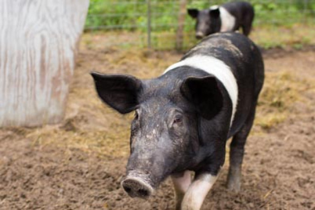 Raising Hampshire Pigs For Meat — Before & After
