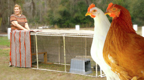 When can chickens go outside?