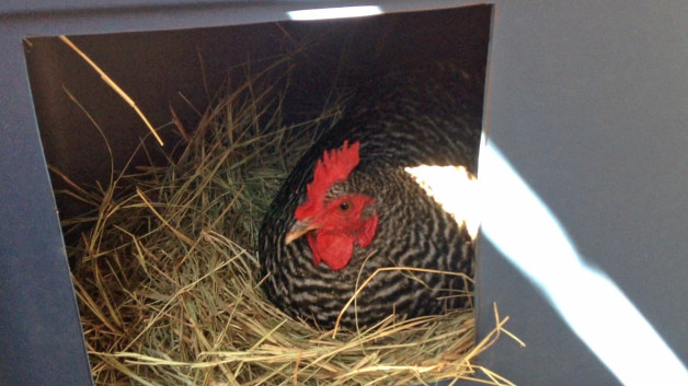 Chicken Nesting Box Plans